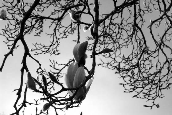 Silent magnolia