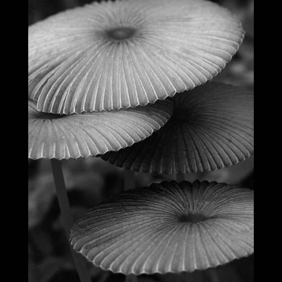 Grisette parasols