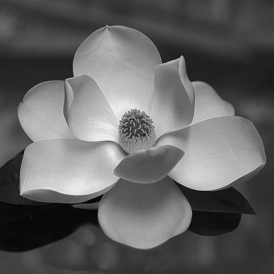 Magnolia masterpiece