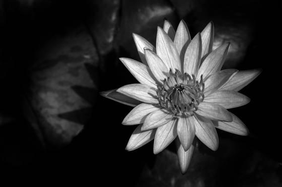 Alice s lily