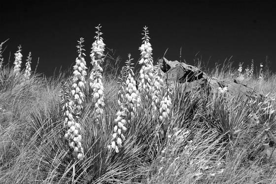 Bloomin  yucca