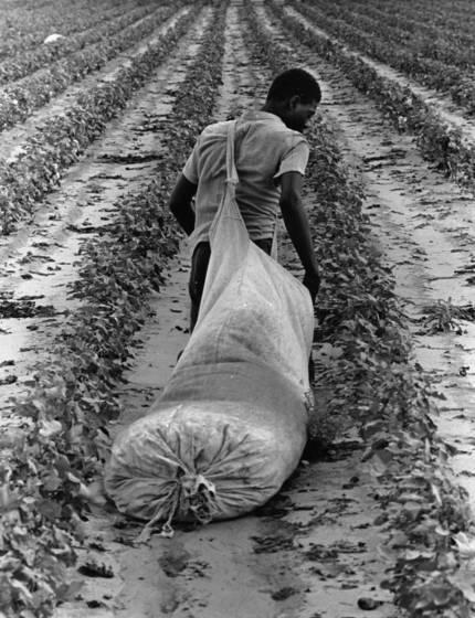 Cotton pickers 6