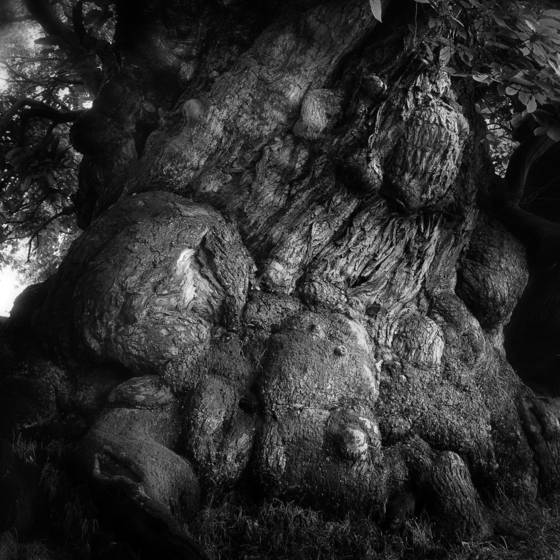 Ancient chestnut tree no 1  herefordshire 2012