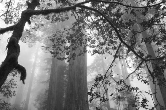 Redwoods calif 2007