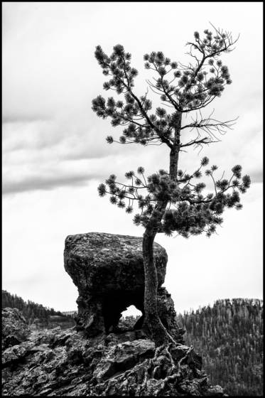 Pine tree grows in rock