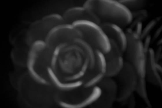 Pinhole succulent