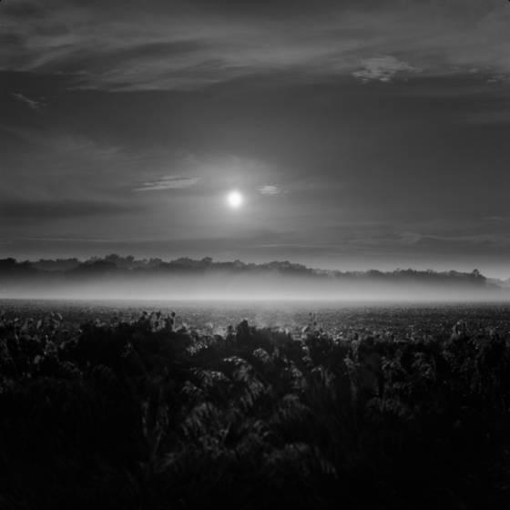 Bean field at dawn