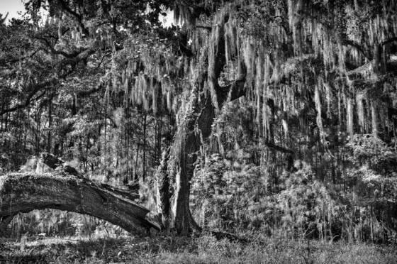 Georgia tree