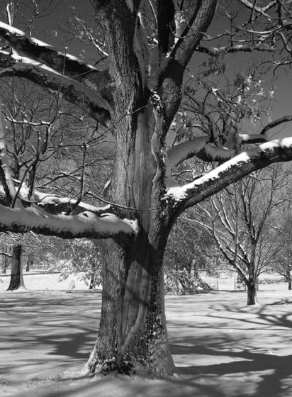 Snow on oaks 2