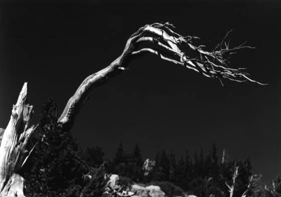 Bristlecone pine 3