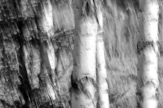 Aspen trunks grand tetons wy 2008
