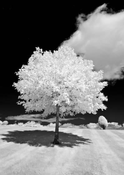 Augusta bpoe tree