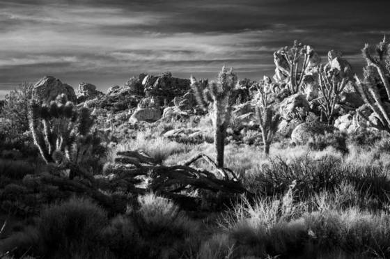 Joshua tree national forest 7