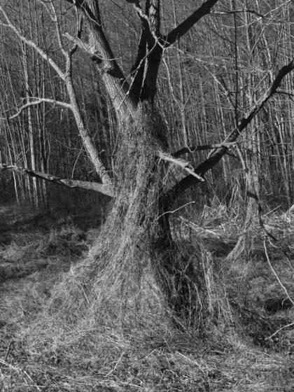 Baretree and vines