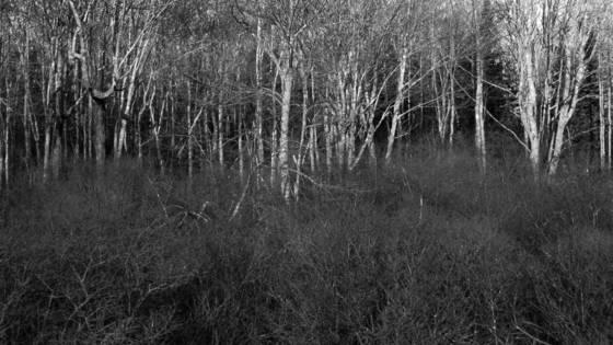 Birch and brush