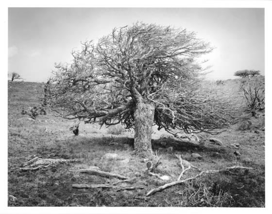 3    mauna kea tree study  4