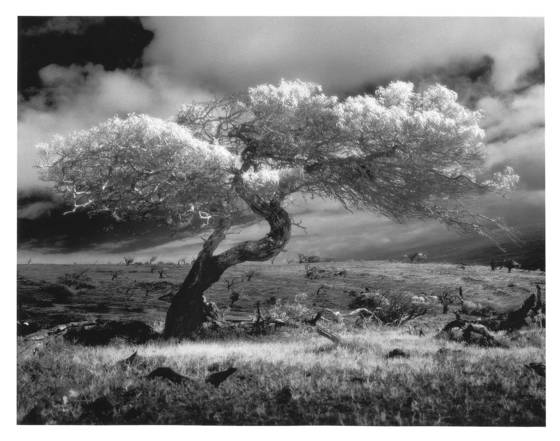 7    mauna kea tree study  1