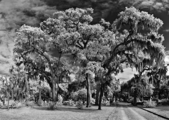 Gaurdian oak