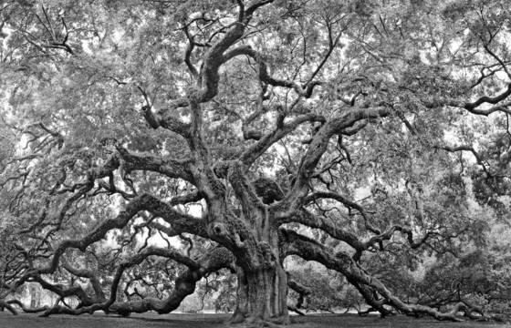 Primal oak