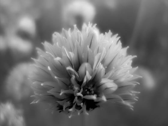 Dandelion jpg