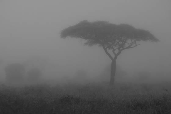 Acacia in mis