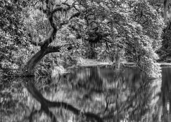 Shimmering oak