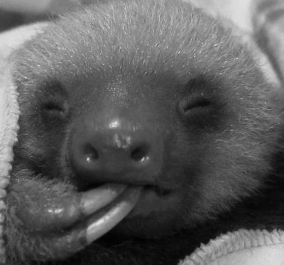 Baby sloth  sucking toe falling asleep