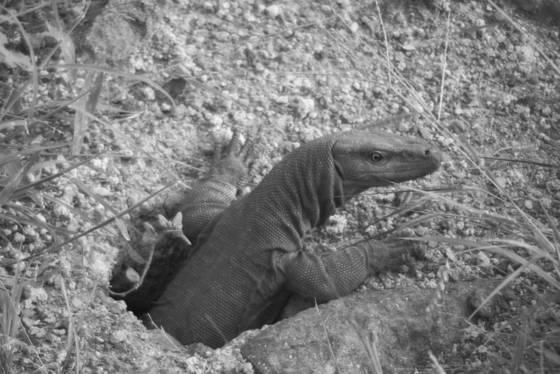 Monitor lizard 2