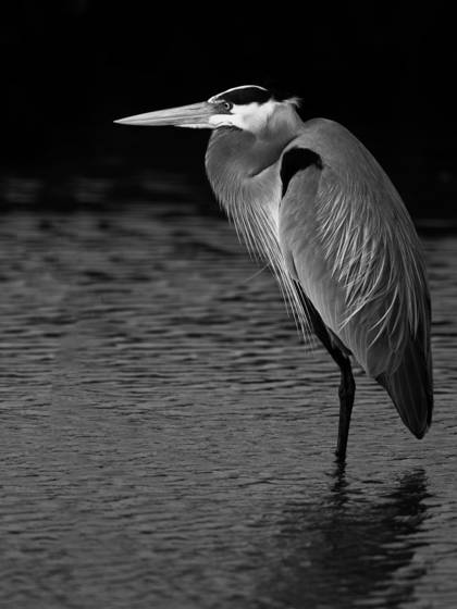 Grear blue heron