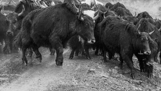 Raining yaks