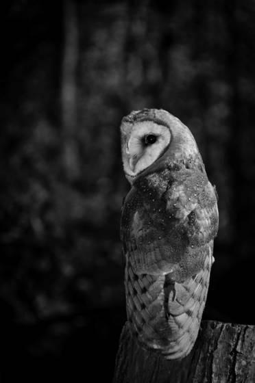 Owl in woods