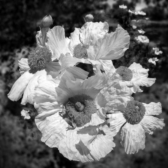 Matilija poppy cluster