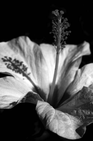 Hibiscus shadow