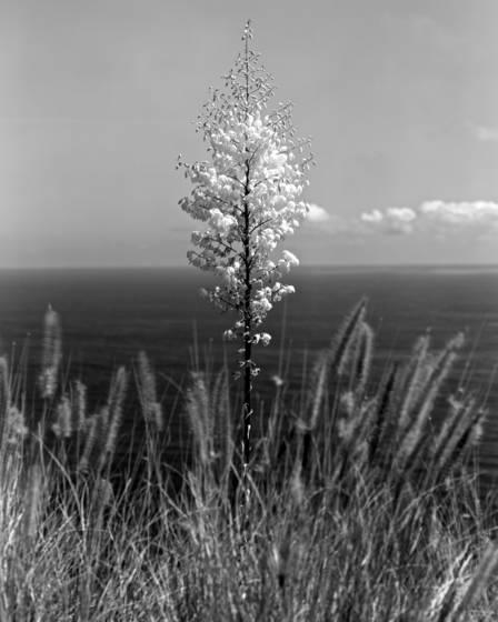 Roadside yucca