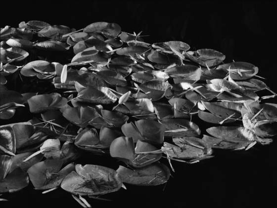 Lily pads on a black pond