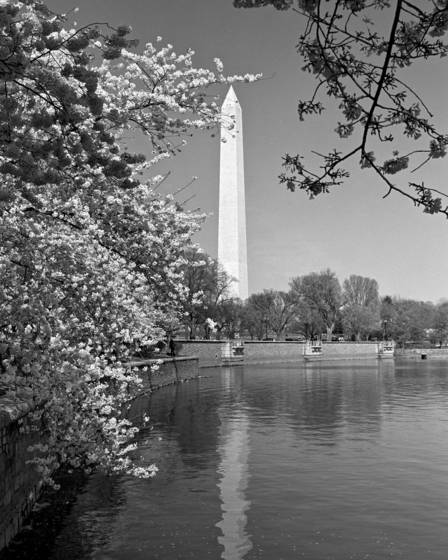 Washington monument blossoms