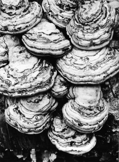 Tinder polypore mushrooms
