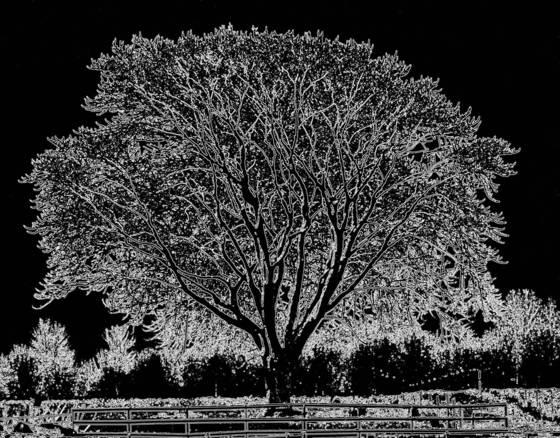 Molly tree