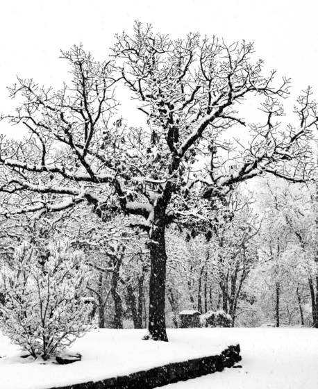 Post oak in snow