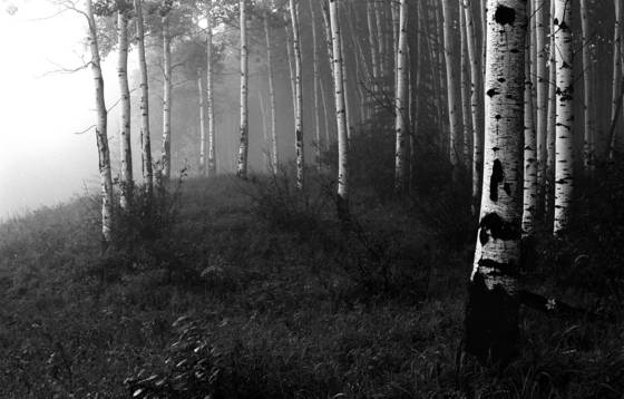 Aspens in the mist