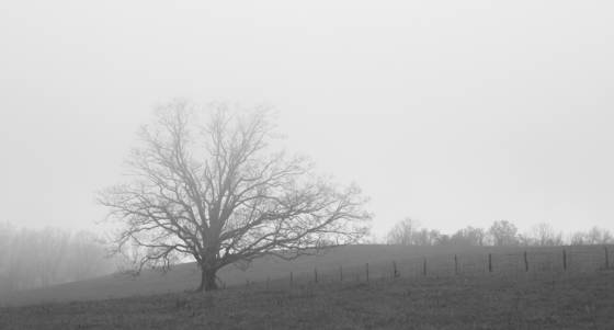 Tree and fence line in fog