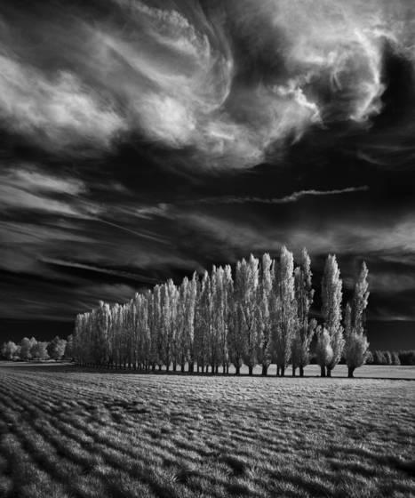Seventy poplars