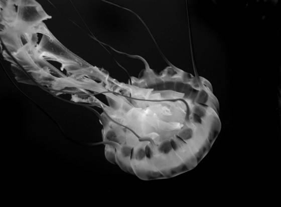 Jellyfish 09