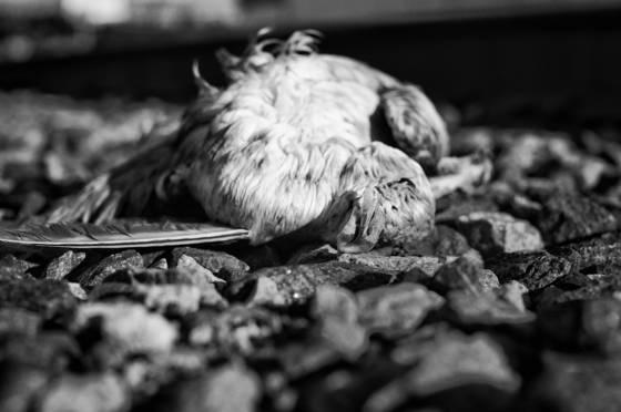 Dead bird  101