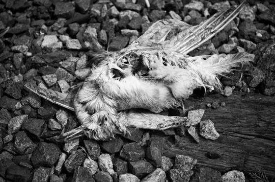 Dead bird  148