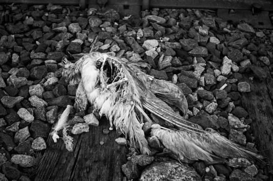 Dead bird  150
