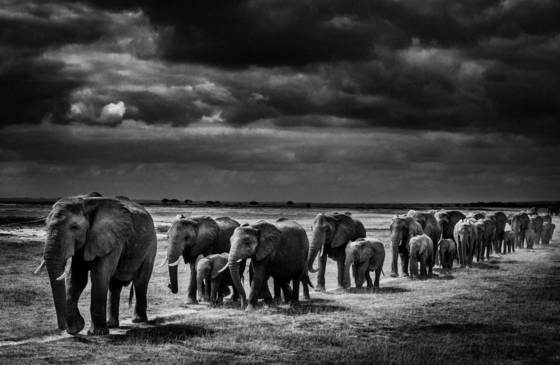 Exodus of elephants