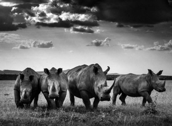 Rhinos quartet