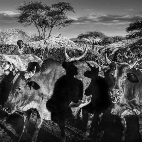 Mystical cattle culture
