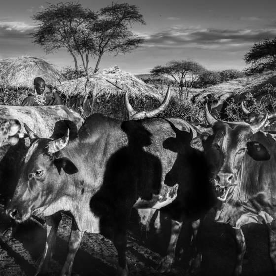 Mystical cattle culture
